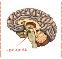Résultats de recherche d'images pour «glande pinéale»